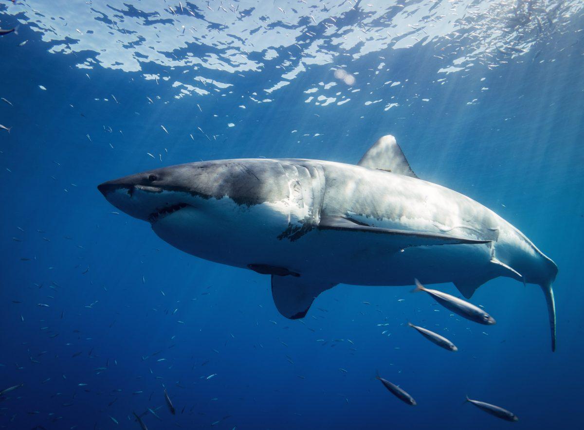 Grande tubarão branco no fundo do mar